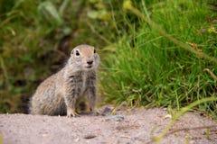 European ground squirrel. Close up Scouting Caucasian ground squirrel carefully watching stock image