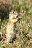 European ground squirrel closeup. Image of wild animal taken in natural habitat  Spermophilus citellus , listed as vulnerable by IUCN, endangered species Royalty Free Stock Photography