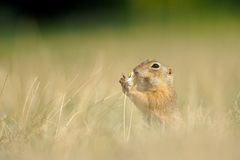 European ground squirrel with ear of avena Royalty Free Stock Photo