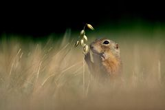 European ground squirrel with ear of avena Royalty Free Stock Photos