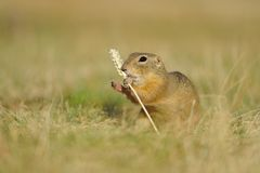 European ground squirrel with ear of avena Stock Image
