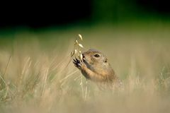 European ground squirrel with ear of avena Stock Photo