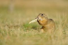 European ground squirrel with ear of avena Stock Photography