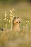 European ground squirrel with ears of avena Stock Photo