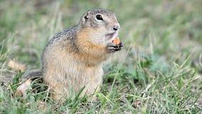 European ground squirrel stock video footage