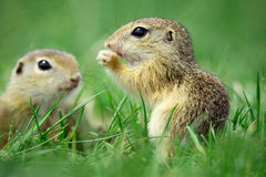 European ground squirrel is eating. Grass royalty free stock image