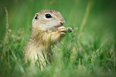 European ground squirrel is eating. Grass stock photo