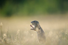 European ground squirrel eating with open mouth. And standing in yellow summer grass and showing front paws royalty free stock photos