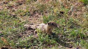 European ground squirrel feeding stock footage