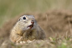 European ground squirrel on field (Spermophilus citellus) Stock Images
