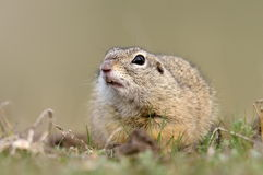 European ground squirrel on field (Spermophilus citellus) Royalty Free Stock Image
