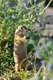 European ground squirrel in the flowers Stock Photos