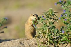 European ground squirrel in the flowers. European ground squirrel in the purple flowers royalty free stock photo