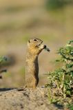European ground squirrel in the flowers Royalty Free Stock Photos
