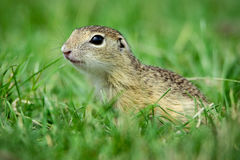 European ground squirrel. In the grass royalty free stock photo