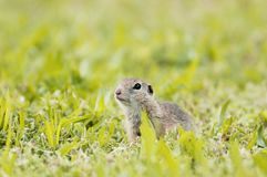 European ground squirrel in the grass royalty free stock image