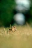 European ground squirrel. In the grass on summer time royalty free stock image