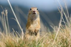 European ground squirrel stands upright on his hind legs. European ground squirrel is hidden behind autumn grasses in September Stock Photo