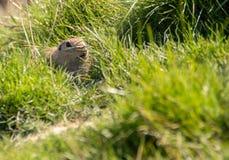 European ground squirrel hidden in grass.  royalty free stock images