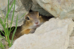 European ground squirrel. In hide Stock Photo