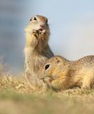 European ground squirrel, lat. Spermophilus citell Royalty Free Stock Photo