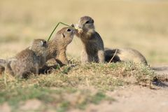 European ground squirrel, lat. Spermophilus citell Stock Photos
