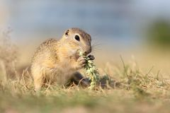 European ground squirrel, lat.Spermophilus citellu Royalty Free Stock Image