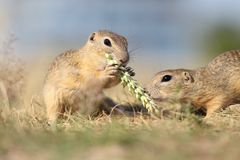 European ground squirrel, lat.Spermophilus citellus Stock Images