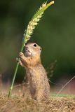 European ground squirrel, lat. Spermophilus citellus Stock Photography