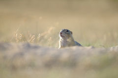 European ground squirrel. Looking from ground hole royalty free stock image