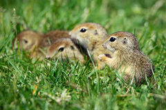 European Ground Squirrel in natural habitat. European Ground Squirrel on the green grass royalty free stock photos
