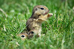 European Ground Squirrel in natural habitat. Picture stock photos