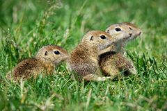 European Ground Squirrel in natural habitat. Picture stock images