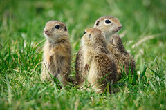 European Ground Squirrel in natural habitat. Picture royalty free stock photo