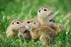 European Ground Squirrel in natural habitat. Picture royalty free stock photography