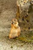 European ground squirrel Royalty Free Stock Photography