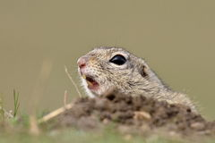 Free European Ground Squirrel On Field (Spermophilus Citellus) Stock Images - 56482824