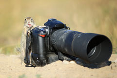 European ground squirrel with professional camera and open mouth. European ground squirrel like a camerman with professional camera and open mouth like comment royalty free stock photo