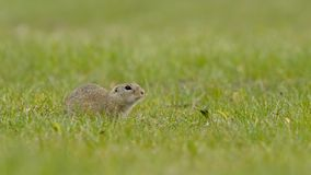 European ground squirrel stock video
