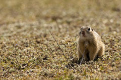 European Ground Squirrel or Souslik Royalty Free Stock Photography