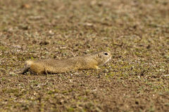 European Ground Squirrel or Souslik Stock Photo