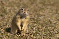 European Ground Squirrel or Souslik Stock Images