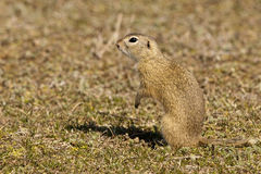 European Ground Squirrel or Souslik Royalty Free Stock Images
