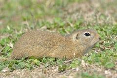 European Ground Squirrel or Souslik on Meadow Stock Photos