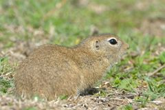 European Ground Squirrel or Souslik on Meadow. European Ground Squirrel or Souslik Spermophilus citellus on Meadow in Springtime, in Dobruja Royalty Free Stock Photography