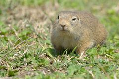 European Ground Squirrel or Souslik on Meadow. European Ground Squirrel or Souslik Spermophilus citellus on Meadow in Springtime, in Dobruja Stock Image