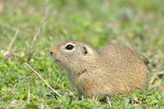 European Ground Squirrel or Souslik on Meadow. European Ground Squirrel or Souslik Spermophilus citellus on Meadow in Springtime, in Dobruja Royalty Free Stock Image