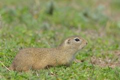 European Ground Squirrel or Souslik on Meadow. European Ground Squirrel or Souslik Spermophilus citellus on Meadow in Springtime, in Dobruja Royalty Free Stock Images