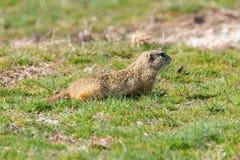 European ground squirrel, Souslik Spermophilus citellus natural environment. Wildlife stock photography