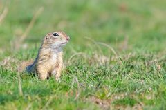 European ground squirrel, Souslik Spermophilus citellus natural environment. Wildlife stock photo